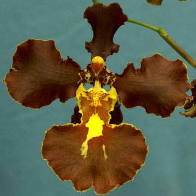 Brasilidium crispum