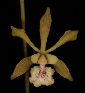 Encyclia belizensis