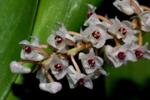 Pinalia floribunda