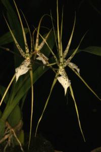 Brassia brachiata