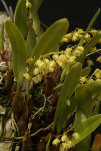 Australorchis monophylla